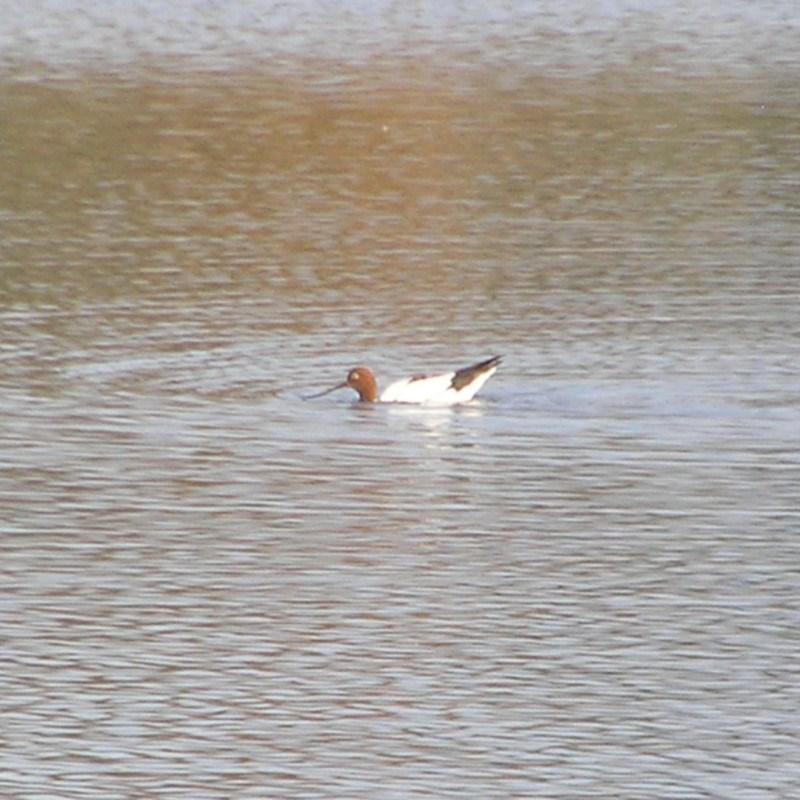 Recurvirostra novaehollandiae at Jerrabomberra Wetlands - 30 Jun 2018