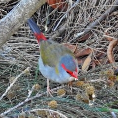 Neochmia temporalis (Red-browed Finch) at Jerrabomberra Wetlands - 30 Jun 2018 by RodDeb