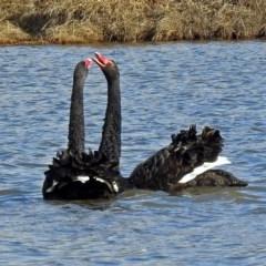 Cygnus atratus (Black Swan) at Jerrabomberra Wetlands - 30 Jun 2018 by RodDeb
