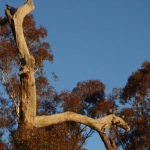Chenonetta jubata at Red Hill Nature Reserve - 1 Jul 2018