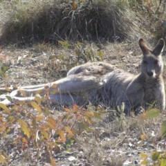Macropus giganteus (Eastern Grey Kangaroo) at Mount Taylor - 1 Jul 2018 by MatthewFrawley
