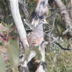 Phaps chalcoptera (Common Bronzewing) at Mount Taylor - 1 Jul 2018 by MatthewFrawley