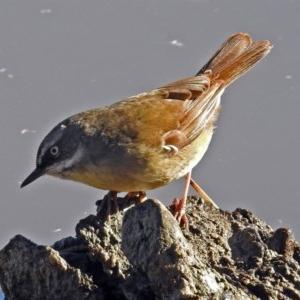 Sericornis frontalis at Jerrabomberra Wetlands - 1 Jul 2018