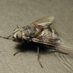 Rutilia (Donovanius) sp. (genus & subgenus) (A Bristle Fly) at Pine Island to Point Hut - 18 Jan 2018 by michaelb