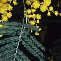 Acacia silvestris (Bodalla Silver Wattle) at Deua National Park - 11 Aug 1997 by BettyDonWood