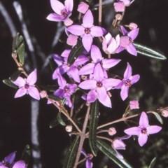 Boronia ledifolia (Ledum Boronia) at Deua National Park - 11 Aug 1997 by BettyDonWood