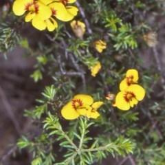 Dillwynia sp. Trichopoda (J.H.Maiden & J.L.Boorman s.n. 40290) NSW Herbarium at Deua National Park - 9 Nov 1998 by BettyDonWood