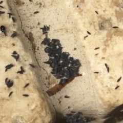 Hypogastrura sp. (genus) at Michelago, NSW - 11 Mar 2016