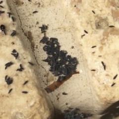 Hypogastrura sp. (genus) at Illilanga & Baroona - 11 Mar 2016