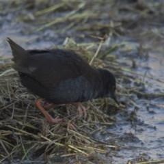 Zapornia tabuensis (Spotless Crake) at Jerrabomberra Wetlands - 2 Jul 2018 by Alison Milton