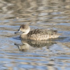 Anas gracilis (Grey Teal) at Jerrabomberra Wetlands - 2 Jul 2018 by Alison Milton