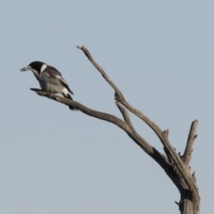 Cracticus torquatus (Grey Butcherbird) at Illilanga & Baroona - 24 May 2015 by Illilanga