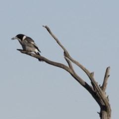 Cracticus torquatus (Grey Butcherbird) at Illilanga & Baroona - 24 May 2015 by Illilanga