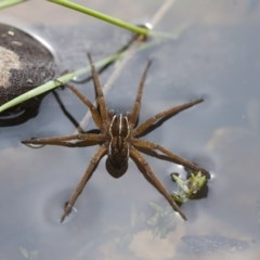 Pisauridae sp. (family) (Water spider) at Illilanga & Baroona - 28 Nov 2011 by Illilanga