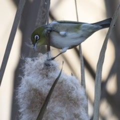 Zosterops lateralis (Silvereye) at Jerrabomberra Wetlands - 2 Jul 2018 by Alison Milton
