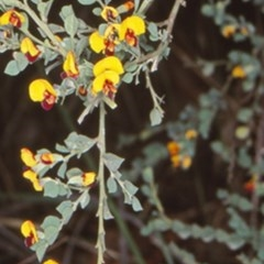 Bossiaea rhombifolia at Deua National Park - 7 Sep 2000 by BettyDonWood