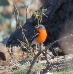 Petroica phoenicea (Flame Robin) at Mount Ainslie - 4 Jul 2018 by KumikoCallaway