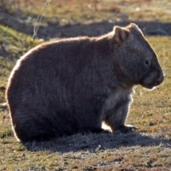 Vombatus ursinus (Wombat) at Googong Foreshore - 3 Jul 2018 by RodDeb