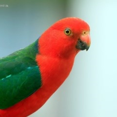 Alisterus scapularis (Australian King-parrot) at Lake Conjola, NSW - 8 Nov 2015 by Charles Dove