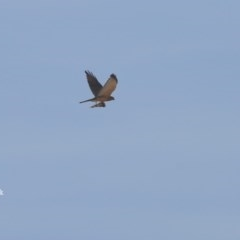 Accipiter fasciatus (Brown Goshawk) at Conjola Bushcare - 5 Nov 2015 by Charles Dove