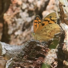 Heteronympha merope (Common Brown) at Conjola Bushcare - 8 Nov 2015 by Charles Dove