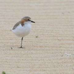Charadrius ruficapillus (Red-capped Plover) at Cunjurong Point, NSW - 5 Nov 2015 by CharlesDove