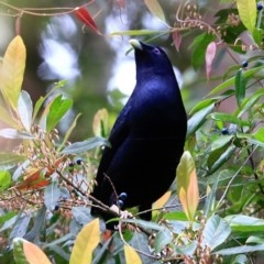Ptilonorhynchus violaceus (Satin Bowerbird) at Ulladulla - Millards Creek - 8 Nov 2015 by CharlesDove
