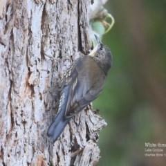 Cormobates leucophaea (White-throated Treecreeper) at Conjola Bushcare - 5 Nov 2015 by Charles Dove