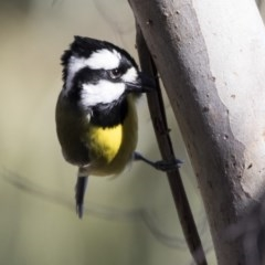 Falcunculus frontatus (Crested Shrike-tit) at Lake Ginninderra - 4 Jul 2018 by Alison Milton