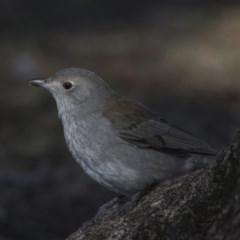 Colluricincla harmonica (Grey Shrike-thrush) at Lake Ginninderra - 4 Jul 2018 by Alison Milton