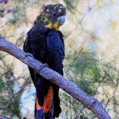 Calyptorhynchus lathami (Glossy Black-cockatoo) at Conjola Bushcare - 28 May 2015 by Charles Dove