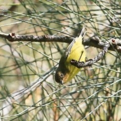 Acanthiza nana (Yellow Thornbill) at Wairo Beach and Dolphin Point - 24 May 2015 by Charles Dove