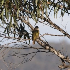 Chalcites lucidus (Shining Bronze-Cuckoo) at Illilanga & Baroona - 30 Apr 2012 by Illilanga