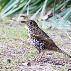 Zoothera lunulata (Bassian Thrush) at Conjola Bushcare - 19 May 2015 by Charles Dove