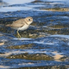 Charadrius bicinctus (Double-banded Plover) at South Pacific Heathland Reserve - 14 May 2015 by Charles Dove
