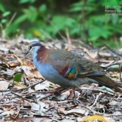 Phaps elegans (Brush Bronzewing) at McDonald State Forest - 5 May 2015 by Charles Dove