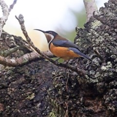 Acanthorhynchus tenuirostris (Eastern Spinebill) at Conjola Bushcare - 1 May 2015 by Charles Dove
