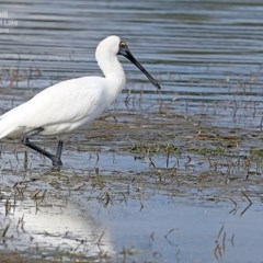 Platalea regia (Royal Spoonbill) at Burrill Lake, NSW - 6 May 2015 by Charles Dove
