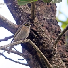 Caligavis chrysops (Yellow-faced Honeyeater) at Conjola Bushcare - 3 May 2015 by Charles Dove
