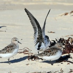 Calidris (Ereunetes) ruficollis (Red-necked Stint) at Cunjurong Point, NSW - 27 Mar 2015 by Charles Dove