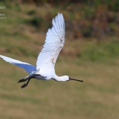 Platalea regia (Royal Spoonbill) at Milton, NSW - 22 Mar 2015 by Charles Dove