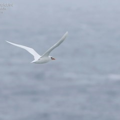 Phaethon rubricauda (Red-tailed Tropicbird) at Coomee Nulunga Cultural Walking Track - 20 Mar 2015 by Charles Dove