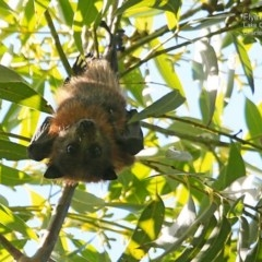 Pteropus poliocephalus (Grey-headed Flying-fox) at Conjola Bushcare - 18 Mar 2015 by Charles Dove