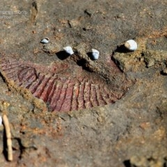 Brachiopoda Spiriferida (Spiriferid Brachiopod) at Ulladulla, NSW - 8 Mar 2015 by Charles Dove