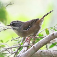 Sericornis frontalis (White-browed Scrubwren) at Wairo Beach and Dolphin Point - 2 Mar 2015 by Charles Dove