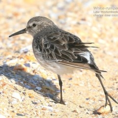 Calidris fuscicollis (White-rumped Sandpiper) at Jervis Bay National Park - 26 Feb 2015 by Charles Dove