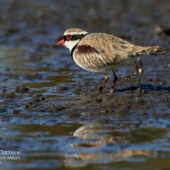 Elseyornis melanops (Black-fronted Dotterel) at Milton, NSW - 20 Jul 2015 by Charles Dove