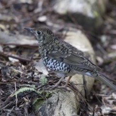 Zoothera lunulata (Bassian Thrush) at ANBG - 3 Jul 2018 by Alison Milton