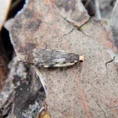 Hoplostega ochroma (A concealer moth) at Mount Painter - 4 Jul 2018 by CathB