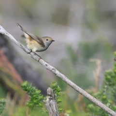 Acanthiza pusilla (Brown Thornbill) at Coomee Nulunga Cultural Walking Track - 20 Jul 2015 by Charles Dove